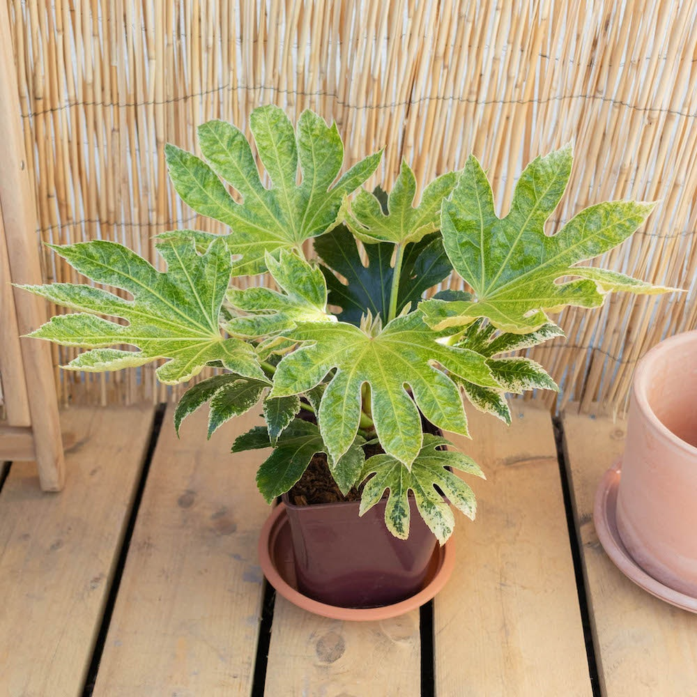 Gonzague seul - Fatsia japonica