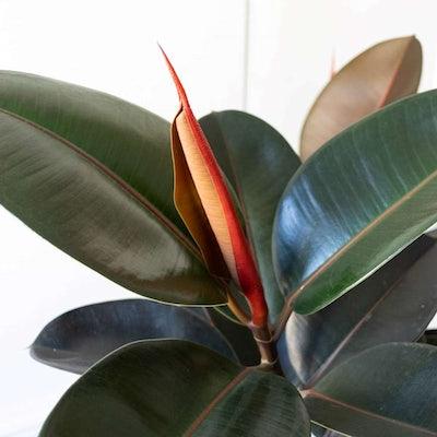 Gros plan sur Harold - Ficus elastica 'Abidjan'