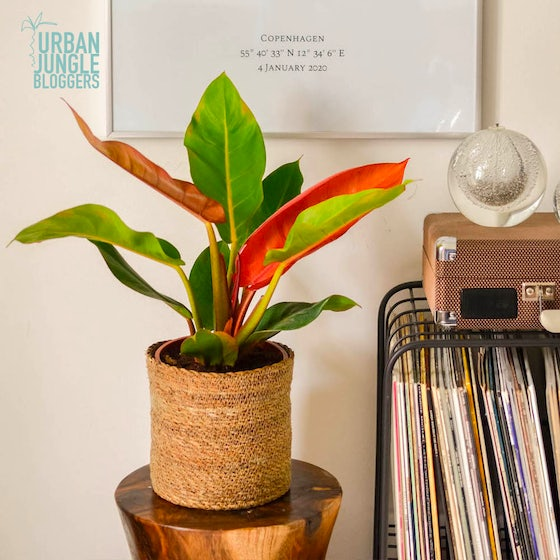 Prince - Philodendron 'Prince of Orange'