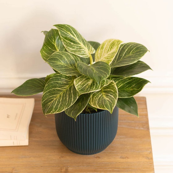 Olivia - Philodendron 'White Wave'
