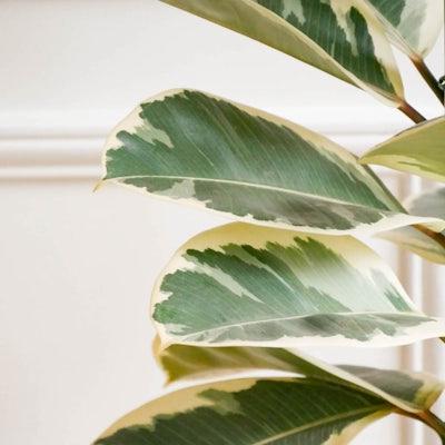 June - Zoom sur Ficus 'Tineke'