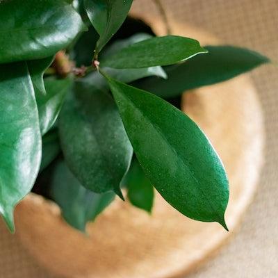 Boris - Zoom sur Ficus cyathistipula