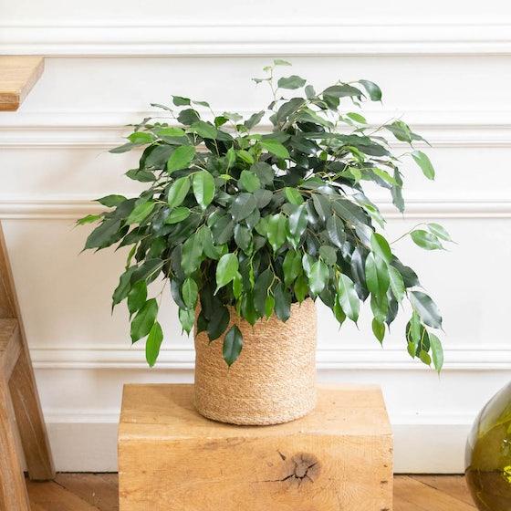 Lauren - Ficus benjamina