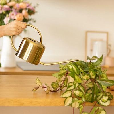 Goldene Kanne Pflanze gießen