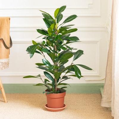 Boris sans cache-pot - Ficus cyathistipula