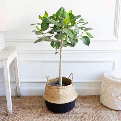 Ferdinand et son panier noir - Ficus benghalensis 'Audrey'