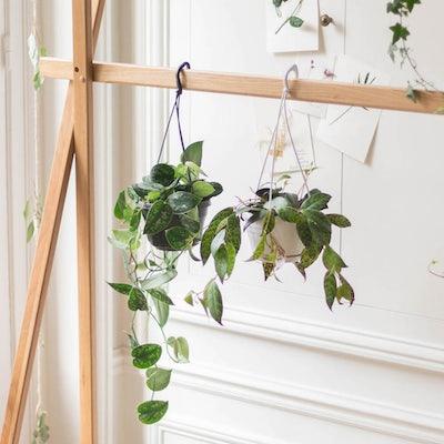 """Unser Pflanzen-Set """"Betty"""" - Scindapsus & Aeschynanthus ohne Übertopf"""