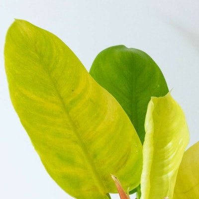 Amelia - Zoom sur Philodendron 'Moonlight'