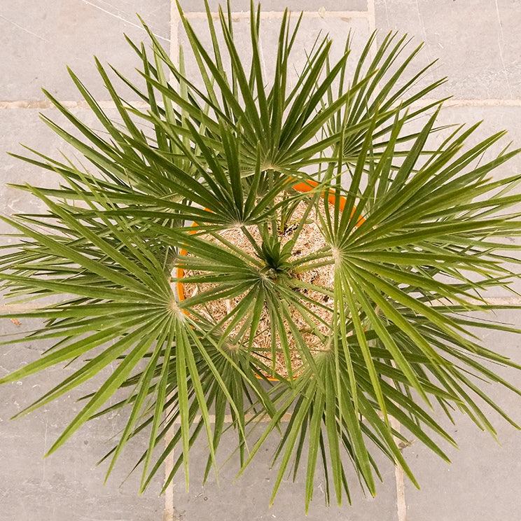 palmier-nain-photo
