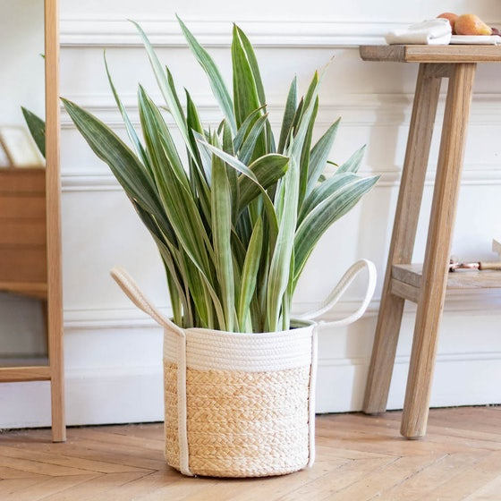 Mary - Sansevieria 'Metallica' et son cache-pot