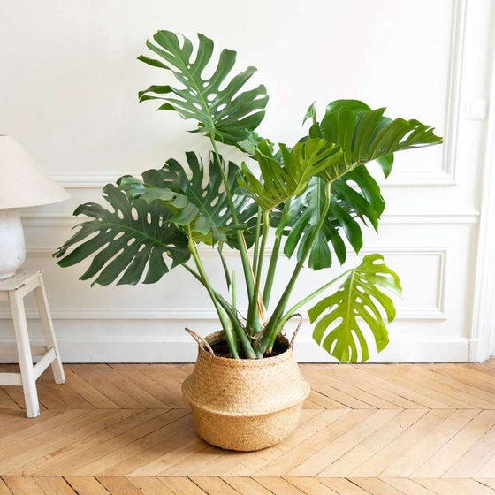 Monstera XXL & Korb