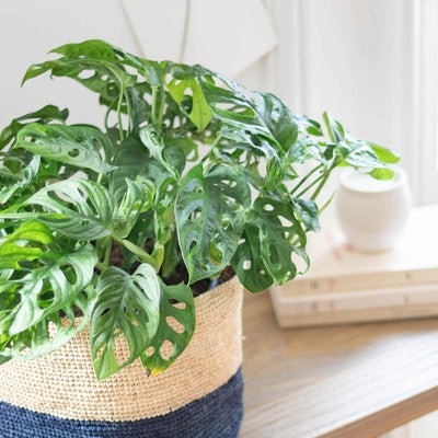 Kim - Monstera Andansonii (Die Pflanze kommt ohne Übertopf)