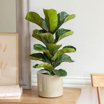 Louisa et son cache-pot vert brillant - Ficus lyrata 'Bambino'
