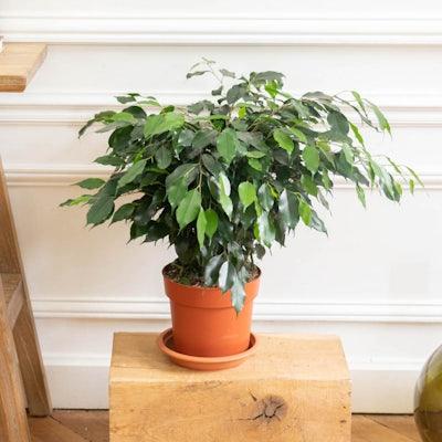 Lauren ohne Übertopf - Ficus benjamina