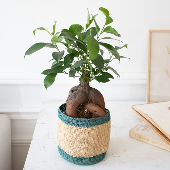 Jimmy et son cache-pot Domoina - Ficus retusa