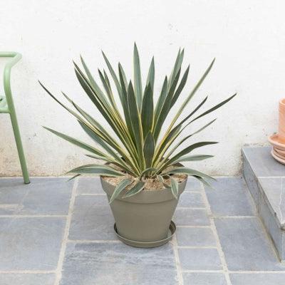 Malo et son pot vert - Yucca