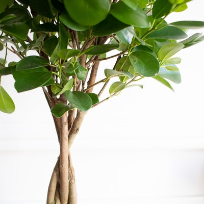 Zoom auf Molly - Ficus 'Moclame'