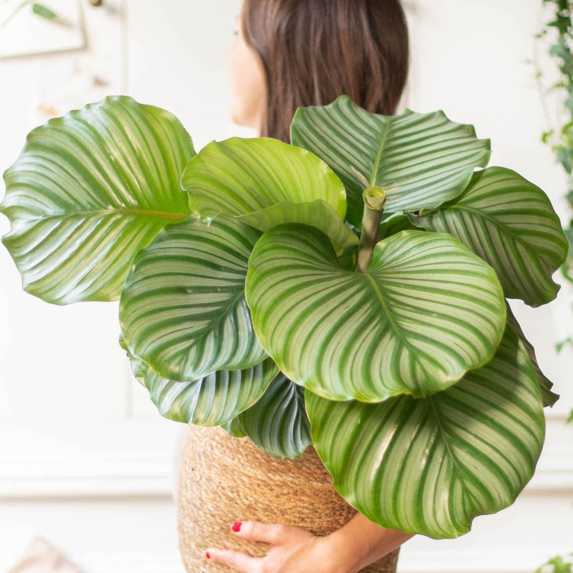 Grand calathéa pot plante verte décoration d'intérieur