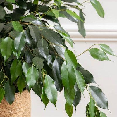 Lauren - Zoom sur Ficus benjamina