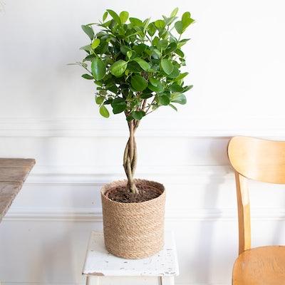 Molly et son cache-pot - Ficus 'Moclame'