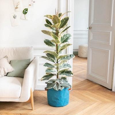 June - Ficus 'Tineke' et son cache-pot bleu