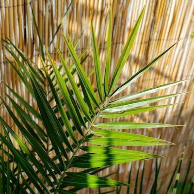 Marcos - Zoom sur Phoenix canariensis