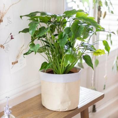 Charlie - Philodendron xanadu et son cache-pot jaune