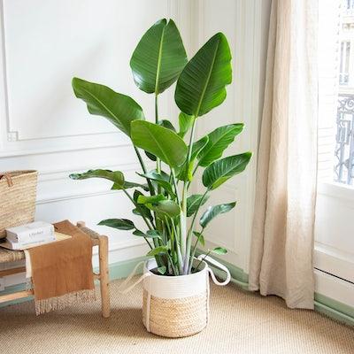 Stanislas et son cache-pot - Strelitzia nicolai