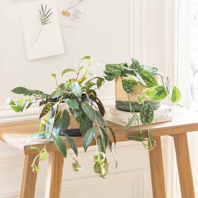 """Unser Pflanzen-Set """"Betty"""" - Scindapsus & Aeschynanthus mit Übertopf"""