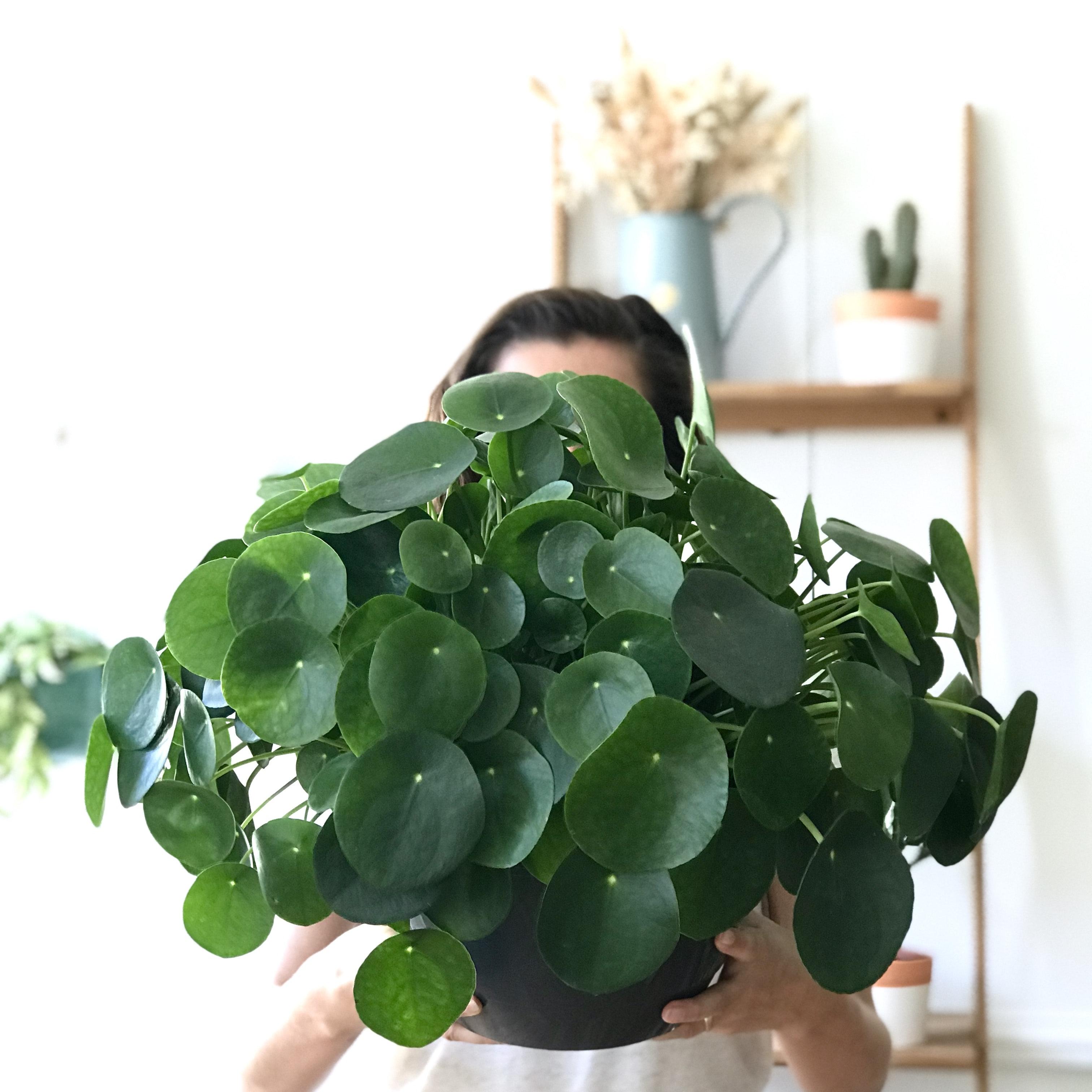 Pilea plante verte décoration d'intérieur