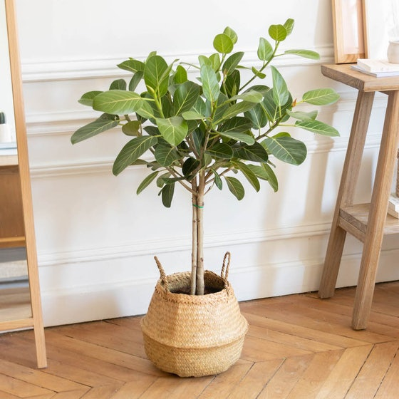 Astrid & Übertopf - Ficus 'Audrey'
