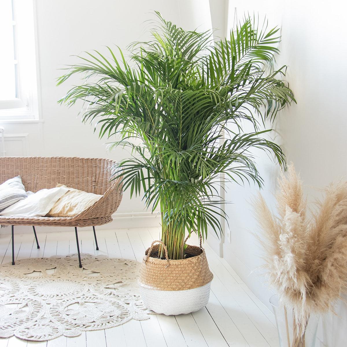 Areca salon décoration pampa d'intérieur