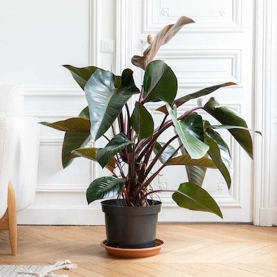 Liam sans cache-pot - Philodendron 'Red Beauty'