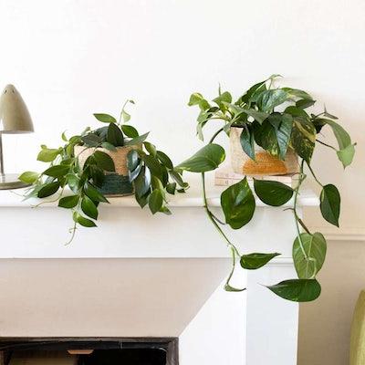 Betty - Duo de plantes suspendues avec cache-pots