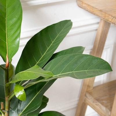Jonas - Zoom sur Ficus 'Roy'