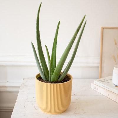 Alan & Übertopf (Gelb) - Aloe vera