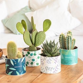 Oscar - Cactus avec cache-pots conserves Bergamotte