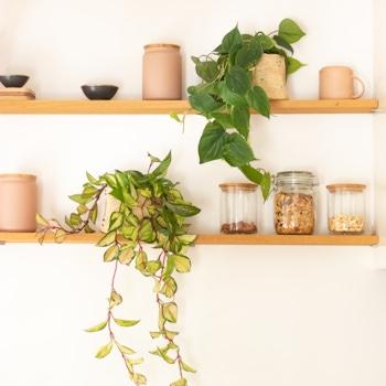 Duo de suspendues - Hoya 'Krimson Queen' & Philodendron scandens