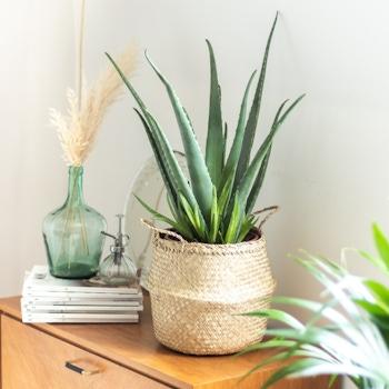 Alma - Aloe vera et son cache-pot