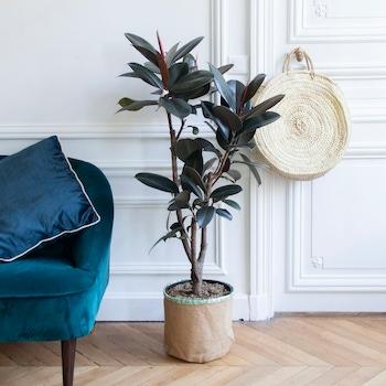 Lola - Ficus elastica