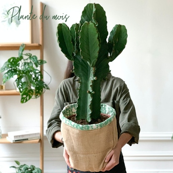 Esteban - Cactus Euphorbe ingens et son cache-pot
