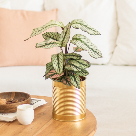 Hector - Calathea with gold-coloured pot