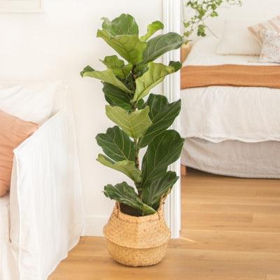 Leon – Ficus Lyrata mit Übertopf