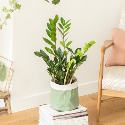 Gabriel - Zamioculcas with pot