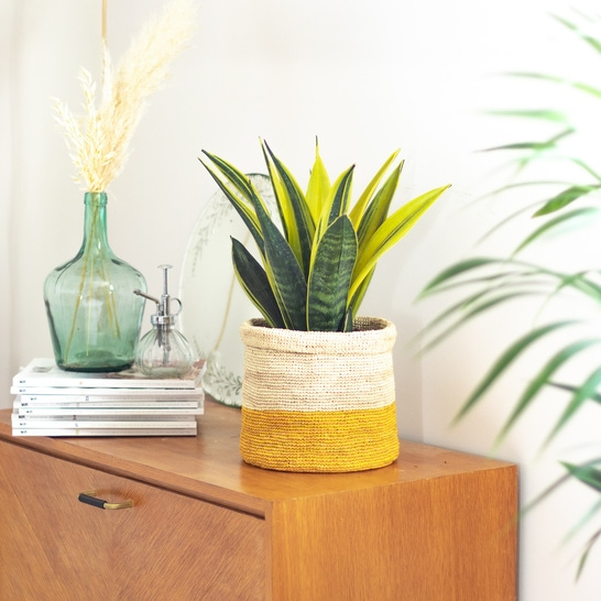 Suzanne - Sansevieria 'Golden Flame' with yellow pot