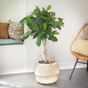 Julia - Ficus 'Audrey' avec un cache-pot en panier