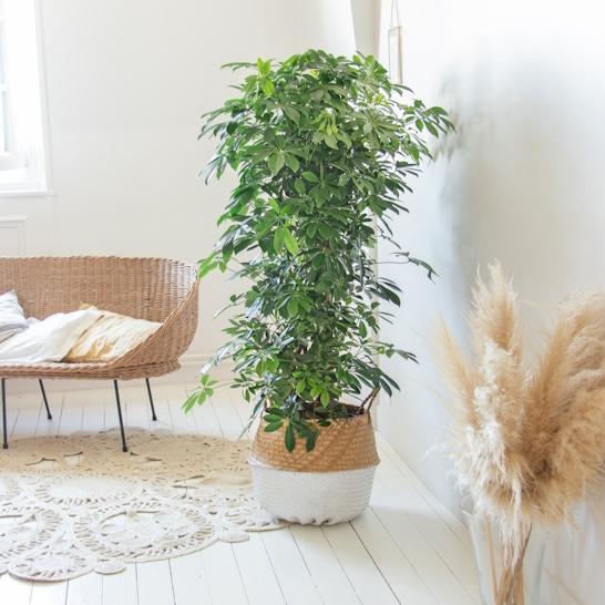 Flora - Schefflera 'Compacta' mit weißem Übertopf