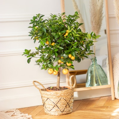Paolo - Calamondin with pot