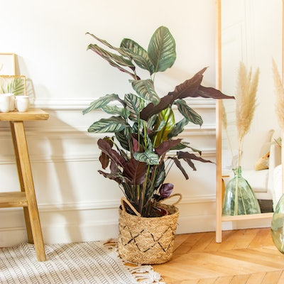 Daniel - Calathea ornata with pot