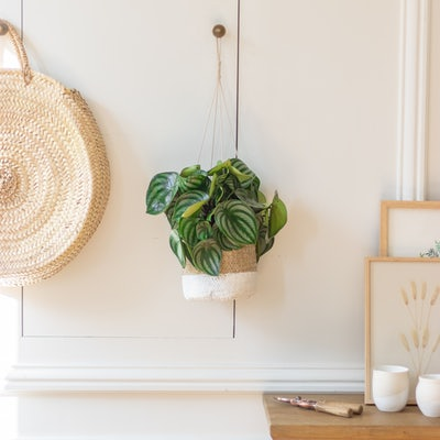 Mila - Peperomia with hanging pot